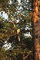 Black and White Colobus Monkey (16140758507).jpg
