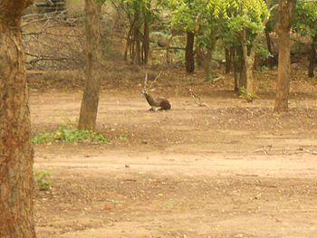Black buck in IIT Madras.jpg