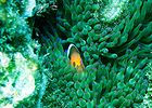 Black clownfish.jpg