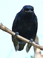 Black cuckooshrike, Campephaga flava, at Manavhela Ben Lavin Nature Reserve, Machado, Limpopo, South africa (26228380811).jpg