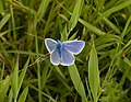 Blackpool Trail, Common Blue butterfly - geograph.org.uk - 852540.jpg