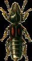 Bledius furcatus Jacobson.png