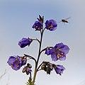 Blomfluga på Blågull-1 - Flickr - Ragnhild & Neil Crawford.jpg