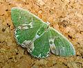 Blotched Emerald. Comibaena bajularia (9247437738).jpg