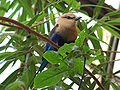 Blue-bellied Roller Coracias cyanogaster Perched 1800px.jpg