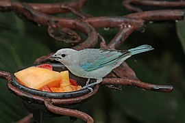 Blue-grey tanager (Thraupis episcopus cana).jpg