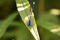 Blue-ringed Dancer (Argia sedula) (14849988036).jpg