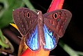 Blue-winged Eurybia, Costa Rica.jpg
