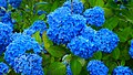Blue hydrangea blossom in Unsho-ji, Oga, Japan 20180630b.jpg