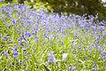 Bluebells @ Hillier Gardens (2480635336).jpg