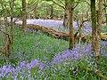 Bluebells in Roydon Woods - geograph.org.uk - 170453.jpg