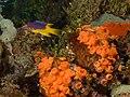 Bodianus rufus (Spanish Hogfish) juvenile.jpg