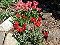 Bolestraszyce Arboretum Tulips - panoramio.jpg