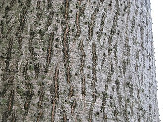Bombax ceiba - Up-close view of a typical, undisturbed bark in Hong Kong.