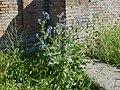 Boraginaceae Ostia Antica.jpg