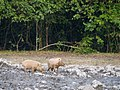 Bornean Bearded Pig (14839594818).jpg