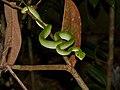 Bornean Keeled Green Pit Viper (Tropidolaemus subannulatus) juvenile (15503450057).jpg