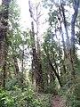 Bosque en Chanquín 02.jpg