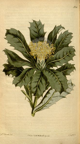 Banksia sessilis - In 1813, Curtis's Botanical Magazine featured a colour plate of a painting by Sydenham Edwards, modelled on a specimen grown from seed collected by Peter Good in 1801–02.