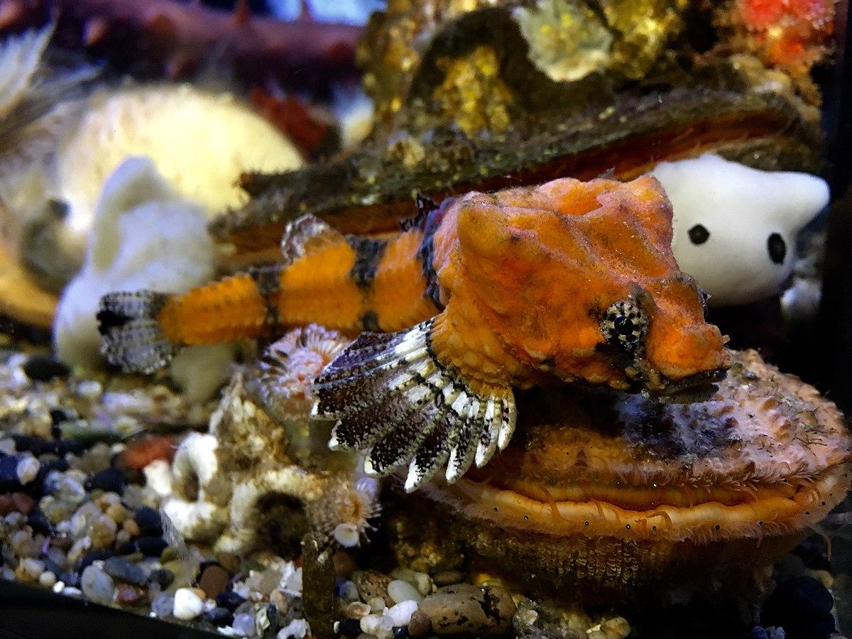Rockhead fish wikipedia for Deep sea fishing oregon coast
