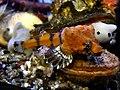 Bothragonus swanii Oregon Coast Aquarium.jpg