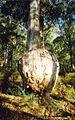 Bottle Tree Eucalyptus cypellocarpa.jpg