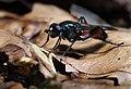 Brachypalpoides lentus, Parc de Woluwé, Bruxelles (40520722410).jpg