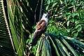 Brahminy Kite Stare (6822476716).jpg