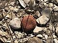 Brick rock in Hinkson Creek.jpg