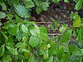 Bridelia hamiltoniana (5085519611).jpg