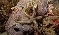Brittle Star (Ophiarthrum pictum) (6088506487).jpg