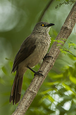 Brown Babbler - KenyaNH8O0619 (19540603722).jpg