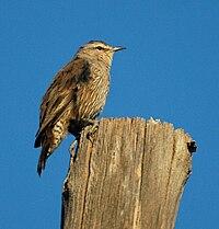 Brown Treecreeper bowra apr07
