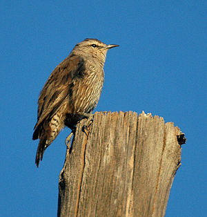 Brown Treecreeper bowra apr07.jpg