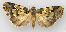 Bryolymnia picturata female.JPG