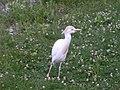 Bubulcus ibis -Racine Zoo, Racine, Wisconsin, USA-8a.jpg
