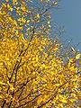 Buchen im Herbst.jpg