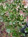 Buchenavia tetraphylla - Flickr - Tarciso Leão (6).jpg