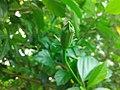 Bud of Hibiscus Rosa Sinensis.jpg