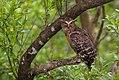 Buffy Fish Owl in Sundarban.jpg