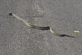 Bullsnake - Bullsnake crossing a highway near Glenrock, Wyoming