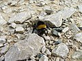 Bumble Bee on Fell lane. - geograph.org.uk - 233109.jpg