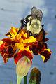 Bumblebee on marigold.jpg