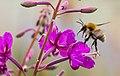 Bumblebees of Arkhangelsk and Novgorod Regions 01.jpg