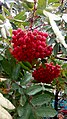 Bunches of Sorbus aucuparia L.jpg