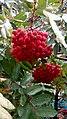 Bunches of Sorbus aucuparia L.jpg