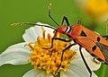 Bunga Ketul & Kumbang Assasin.jpg
