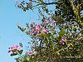 Bunga Pohon Kupu-Kupu (Bauhinia Purpurea).jpg