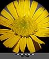 Buphthalmum salicifolium sl5.jpg
