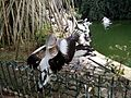 Burung Pelikan di Ragunan.jpg
